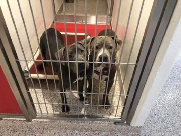 Две приютские собаки поддерживают друг друга в ожидании дома. Они не желают расставаться