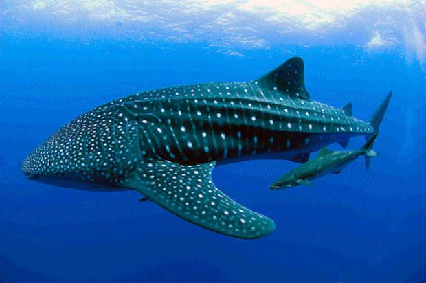 Поведение китовой акулы характеризуют, как апатичный и она ведет кочевнеческий образ жизни