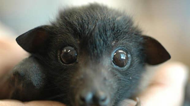 Não matar morcegos em Maurício! - Salve a Selva