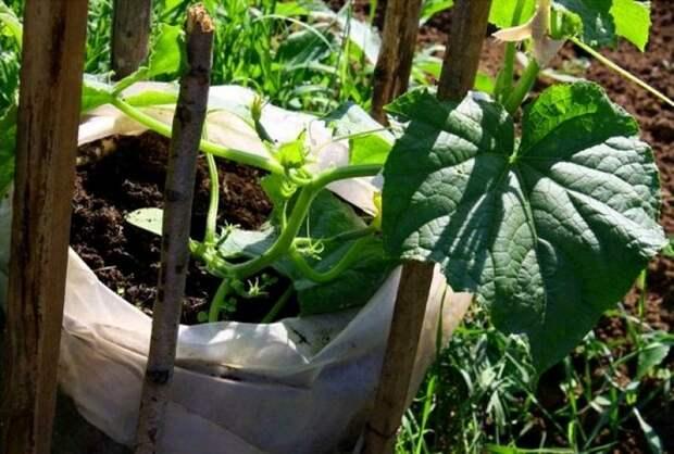 Выращивание огурцов в пакетах или мешках