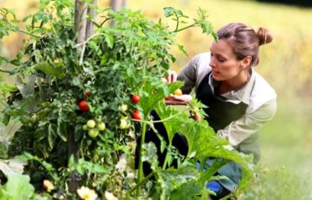 Что рекомендуется делать с томатами в июле. Подборка советов для хорошего урожая