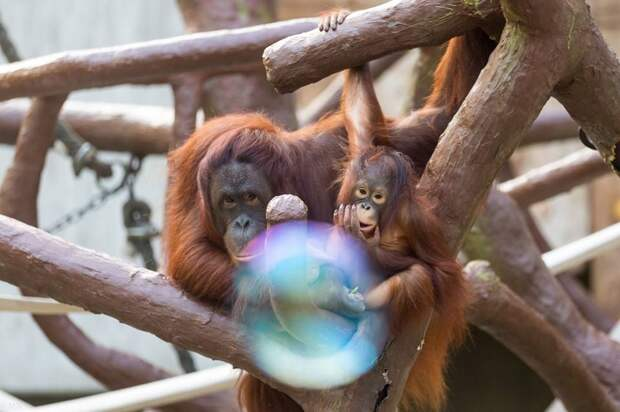 Вольер с обезьянами выгорел в немецком зоопарке