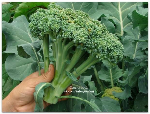 Как вырастить капусту брокколи. В чем секрет ее выращивания?