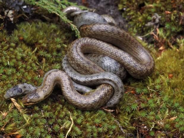 Медянка: Путают с гадюкой и убивают. Безобидная и полезная змея на грани вымирания из-за нашего невежества
