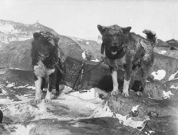 Сторожевые собаки Василиск и Джинджер, приблизительно 1912 год Австралийская антарктическая экспедиция, антарктида, исследование, мир, путешествие, фотография, экспедиция