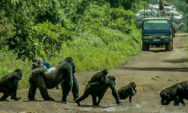 Огромная горилла перекрыла дорогу, чтобы дать пройти своей стае