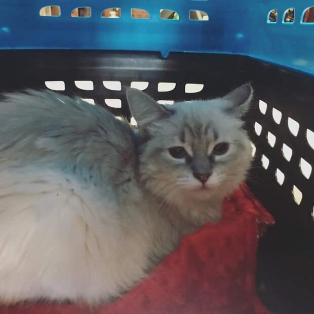 Маленький, больной и тощий блохастик превратился в роскошную пушистую кошку