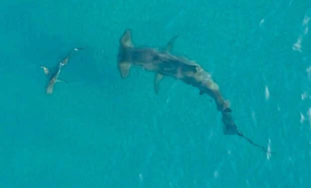 Рыба-молот поднялась к поверхности и устроила охоту на акул