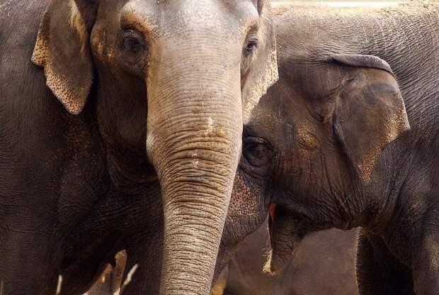 Браконьерство стало причиной отсутствия бивней у слонов Африки