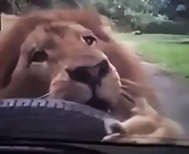 Лев позавтракал автомобильной запаской. Львица смотрела с недоумением