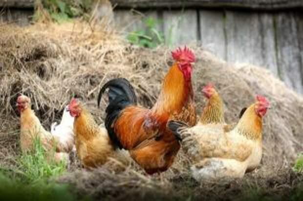 Можно ли есть куриные потроха?