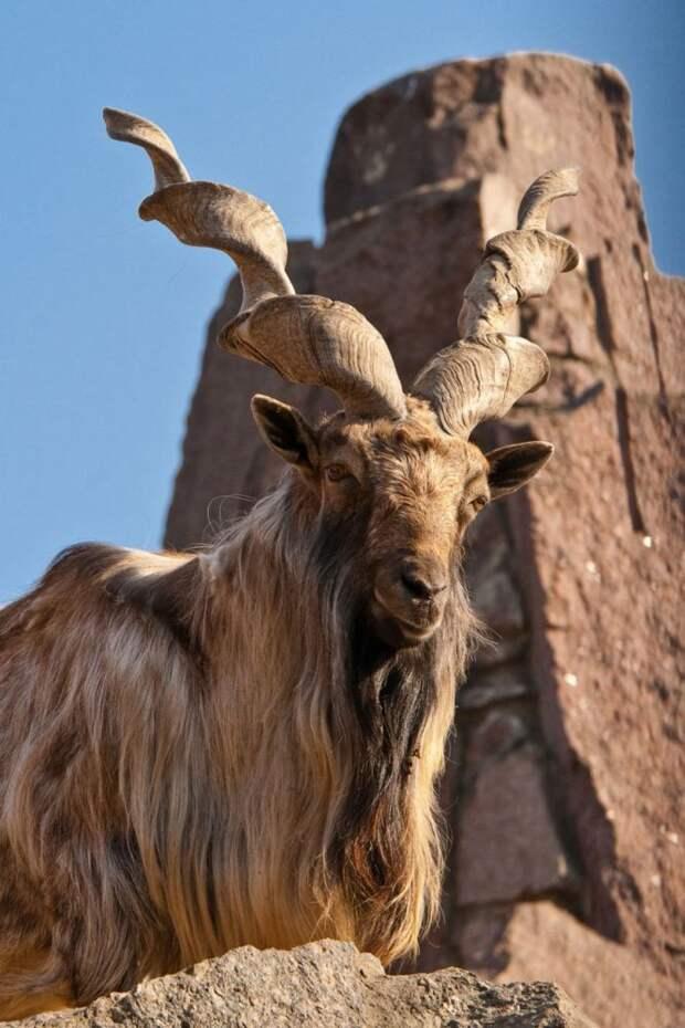 8 фото винторогого козла мархура, который просто шикарен. И он это знает