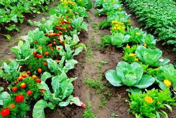 Выбор соседей по грядке. Какие овощи хорошо растут рядом друг с другом