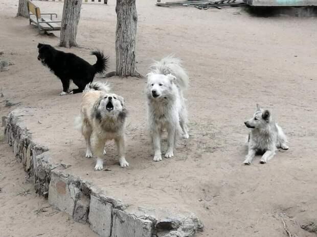 В столице Забайкальского края участились случаи нападения бродячих собак на людей