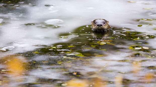 Выдра живет в норах на берегу водоемов