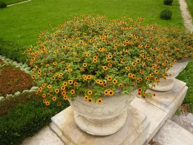 Прекрасная санвиталия украсит любой цветник