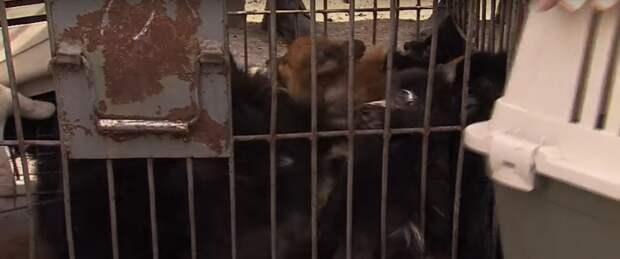 50 собак в плену! Квартира нерадивой заводчицы стала для них тюрьмой…