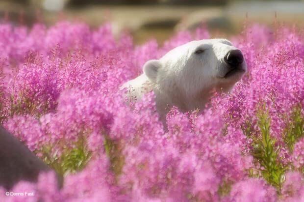 Денис Фаст сфотографировал, как полярные медведи резвятся в цветочном поле-12
