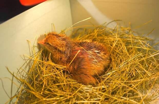 Видео-эксперимент: Можно ли вырастить цыпленка, поместив желток в стакан