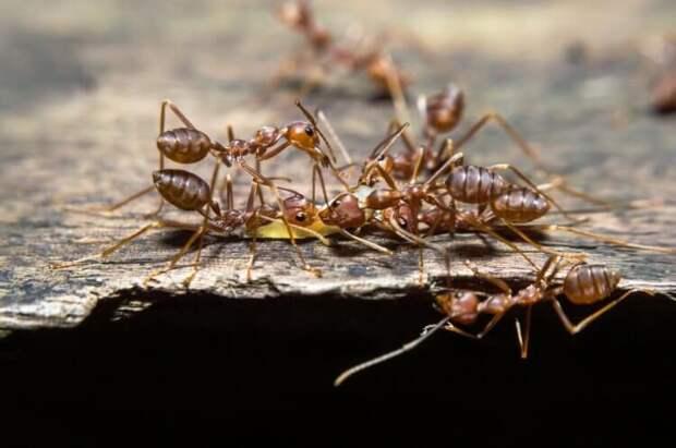 Как муравьям удаётся порабощать другие виды