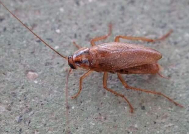 Какие тараканы живут в наших домах и откуда они берутся? (7 фото)