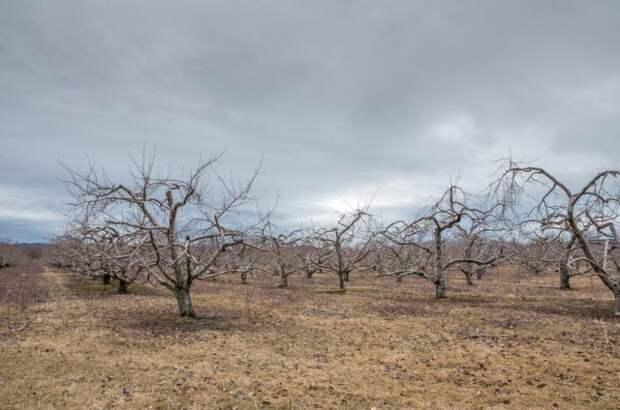 Яблоневый сад перед зимой
