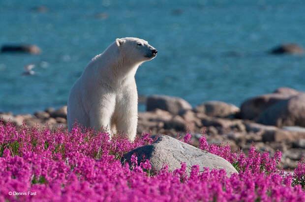 Денис Фаст сфотографировал, как полярные медведи резвятся в цветочном поле-15