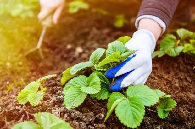 Не упустите момент! Подкормка клубники в октябре — залог обильного урожая в следующем году