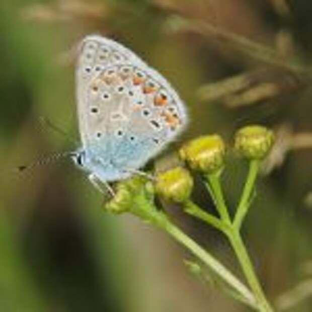 Голубянка икар / Фото: Алексей Стефанов
