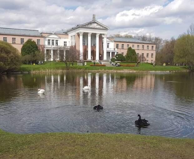 В Ботаническом саду  лебедей выпустили после зимовки