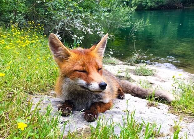 17 случаев, когда люди встречали лису там, где этого не ожидали. Но все остались довольны!