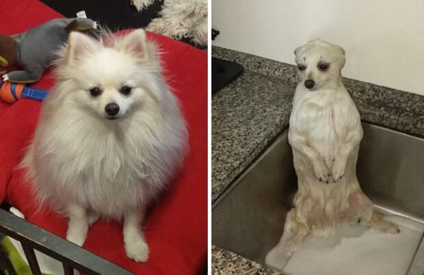 собаки до и после купания, мокрые собаки