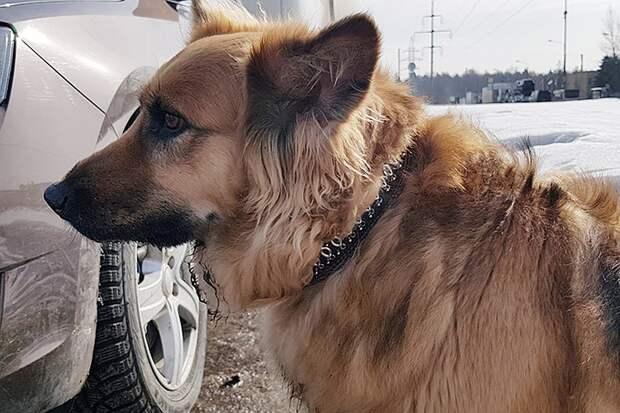 Хатико из Зеленограда пытался догнать машину хозяина, который его выбросил