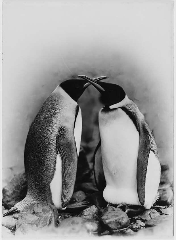 Королевские пингвины Австралийская антарктическая экспедиция, антарктида, исследование, мир, путешествие, фотография, экспедиция