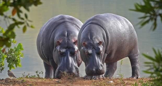 Бегемоты захватывают Южную Америку, и никто не знает, как их остановить