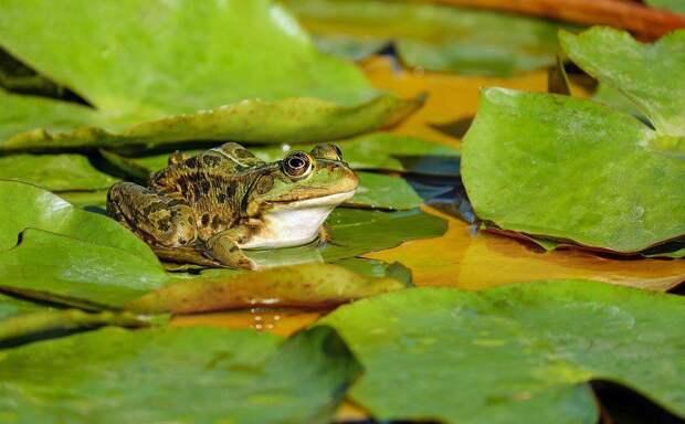 Лягушка. Фото: pixabay.com