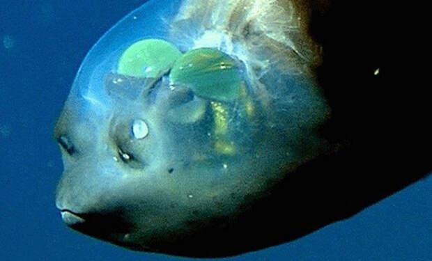 Рыба с прозрачной головой: находка ученых на километровой глубине