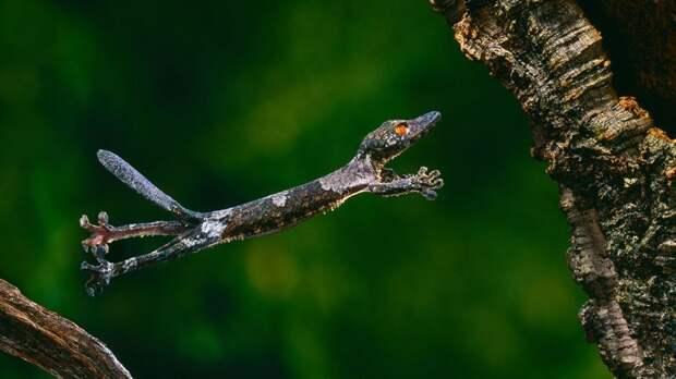 И даже геккону иногда требуется полетать животные, красота, полет, природа, прыжок, удживительное