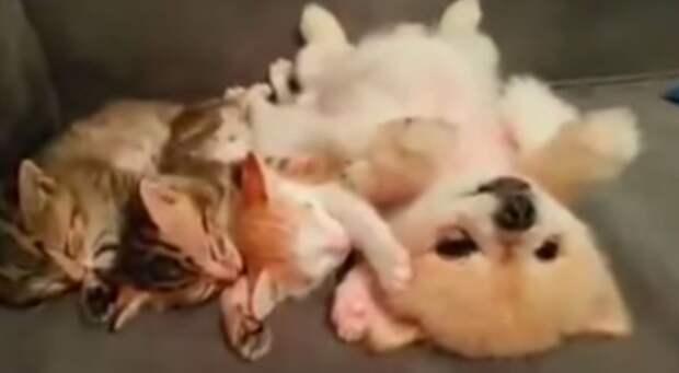 Щенок старается не разбудить котят, поэтому лежит и не шевелится
