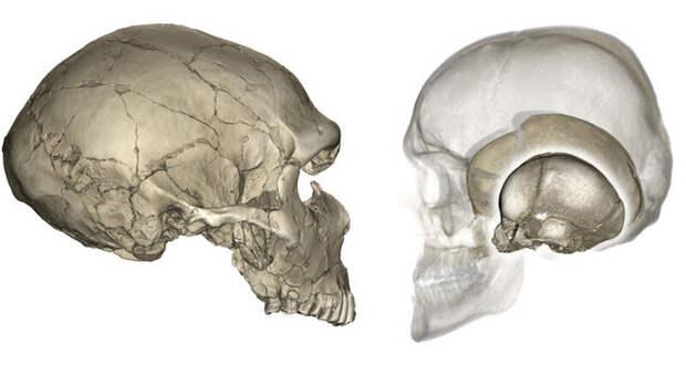Лицом к лицу: почему у неандертальцев череп плоский, а у нас — круглый
