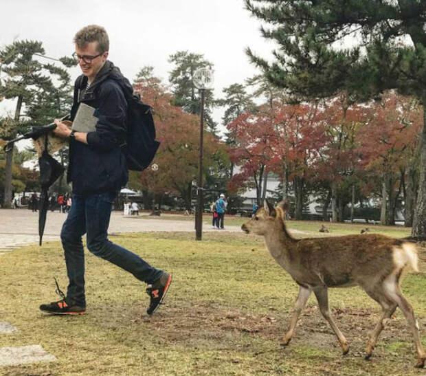 Ручные олени в парках.   Фото: Триникси.
