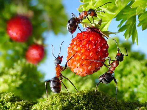 Простой «дедовский» способ вывести с участка надоедливых и вездесущих муравьев