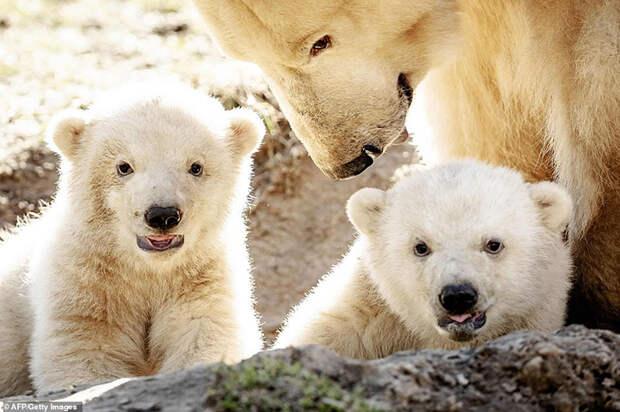 Медвежата из голландского зоопарка.