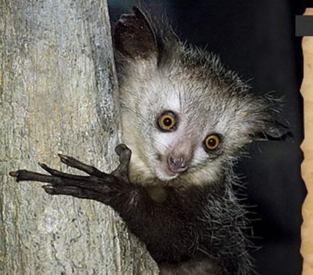 Ай-ай самый невероятный примат на Земле, у которого 6 пальцев