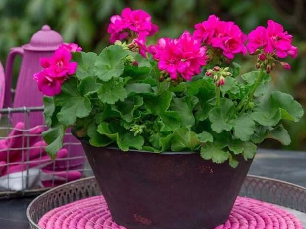 Осенняя и весенняя обрезка герани (пеларгонии) для пышного цветения.
