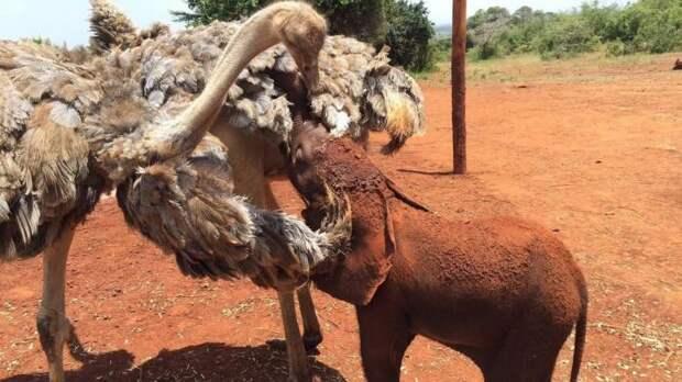История дружбы слоненка-сироты и страуса. Они каждый день обнимаются!