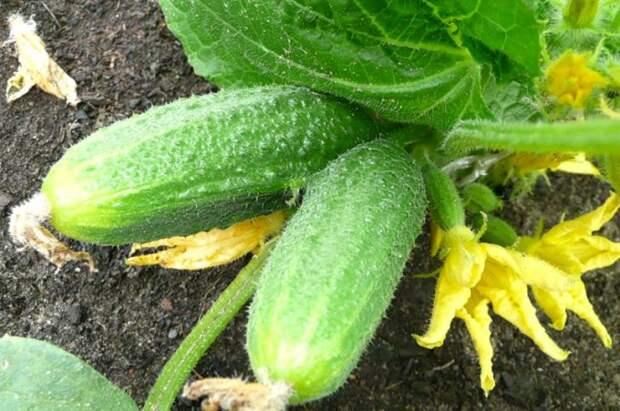 Советы для хорошего урожая огурцов. Выращиваем огурцы правильно.