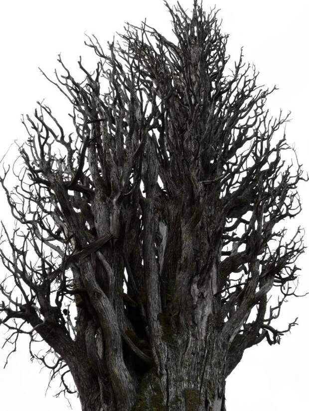 Сухостойные деревья на улице Клары Цеткин удалят после получения порубочного билета — управа