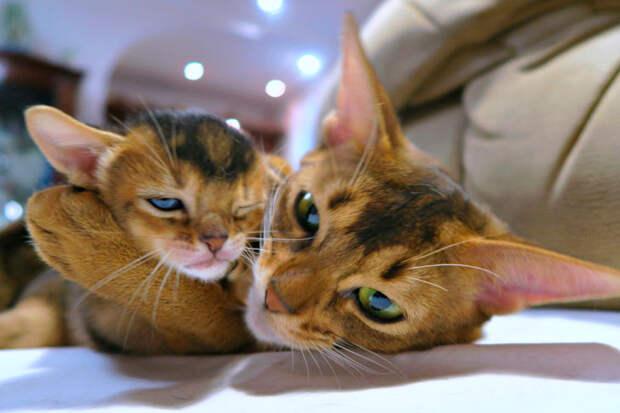 16 самых ласковых пород кошек