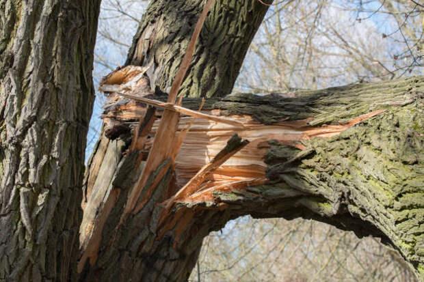 сломанной упал старый тополь дерево - ветка сломанная стоковые фото и изображения